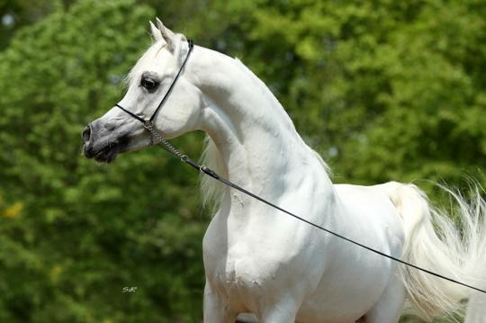 https://www.redwoodlodgearabians.com/core/image.php?src=app/media/uploads/website/30/photos/website_horses/2192/RL_Artique_14.jpg&width=540&height=360