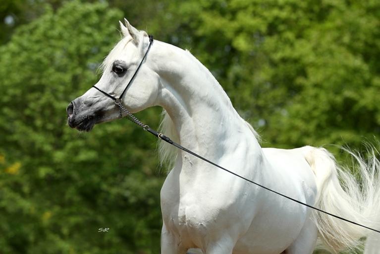 https://www.redwoodlodgearabians.com/core/image.php?src=app/media/uploads/website/30/photos/website_horses/2192/RL_Artique_14.jpg&width=768&height=512