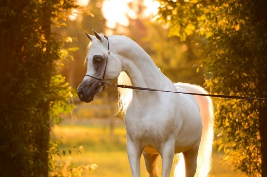 https://www.redwoodlodgearabians.com/core/image.php?src=app/media/uploads/website/30/photos/website_horses/2192/RL_Artique_1_lr.jpg&width=540&height=360