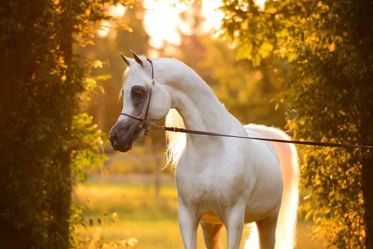 https://www.redwoodlodgearabians.com/core/image.php?src=app/media/uploads/website/30/photos/website_horses/2192/RL_Artique_1_lr.jpg&width=768&height=512