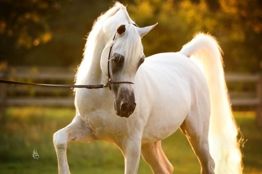 https://www.redwoodlodgearabians.com/core/image.php?src=app/media/uploads/website/30/photos/website_horses/2192/RL_Artique_2_edit_lr.jpg&width=540&height=360