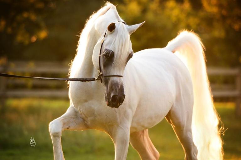 https://www.redwoodlodgearabians.com/core/image.php?src=app/media/uploads/website/30/photos/website_horses/2192/RL_Artique_2_edit_lr.jpg&width=768&height=512