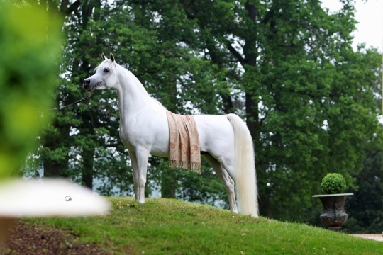 https://www.redwoodlodgearabians.com/core/image.php?src=app/media/uploads/website/30/photos/website_horses/2192/RL_Artique_6.jpg&width=540&height=360