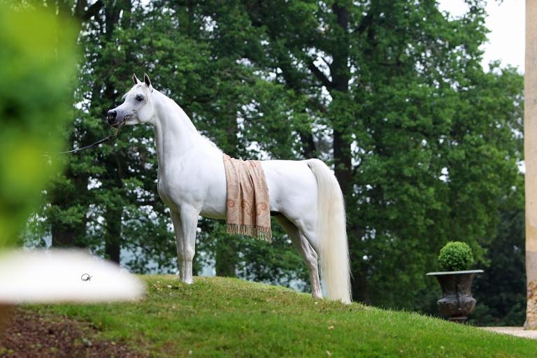https://www.redwoodlodgearabians.com/core/image.php?src=app/media/uploads/website/30/photos/website_horses/2192/RL_Artique_6.jpg&width=768&height=512