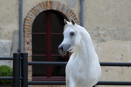 https://www.redwoodlodgearabians.com/core/image.php?src=app/media/uploads/website/30/photos/website_horses/2192/RL_Artique_8.jpg&width=540&height=360