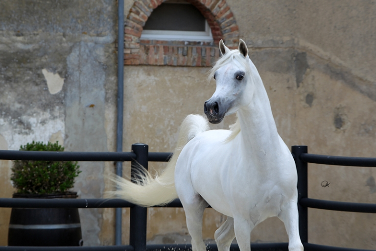 https://www.redwoodlodgearabians.com/core/image.php?src=app/media/uploads/website/30/photos/website_horses/2192/RL_Artique_9.jpg&width=768&height=512