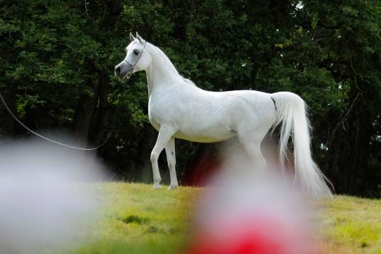 https://www.redwoodlodgearabians.com/core/image.php?src=app/media/uploads/website/30/photos/website_horses/2193/Saffron_EYE5045web.jpg&width=540&height=360