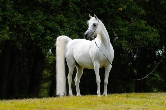 https://www.redwoodlodgearabians.com/core/image.php?src=app/media/uploads/website/30/photos/website_horses/2193/Saffron_EYE5072web.jpg&width=540&height=360