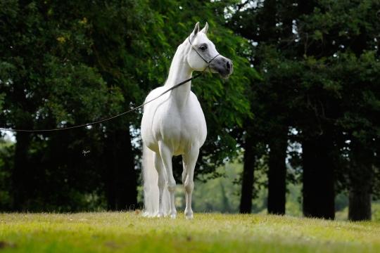 https://www.redwoodlodgearabians.com/core/image.php?src=app/media/uploads/website/30/photos/website_horses/2193/Saffron_EYE5112web.jpg&width=540&height=360