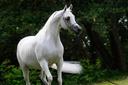 https://www.redwoodlodgearabians.com/core/image.php?src=app/media/uploads/website/30/photos/website_horses/2193/Saffron_EYE5122web.jpg&width=540&height=360