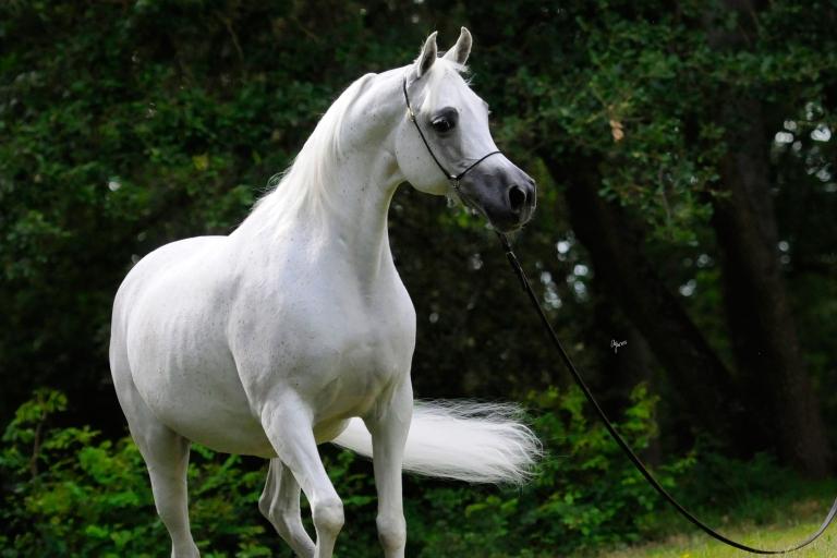 https://www.redwoodlodgearabians.com/core/image.php?src=app/media/uploads/website/30/photos/website_horses/2193/Saffron_EYE5122web.jpg&width=768&height=512