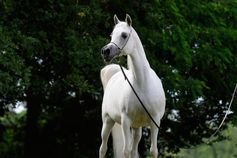 https://www.redwoodlodgearabians.com/core/image.php?src=app/media/uploads/website/30/photos/website_horses/2193/Saffron_EYE5142web.jpg&width=768&height=512