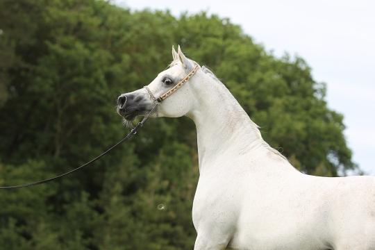 https://www.redwoodlodgearabians.com/core/image.php?src=app/media/uploads/website/30/photos/website_horses/2193/Schermata_2019_04_10_alle_15.58.09.jpg&width=540&height=360