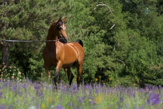 https://www.redwoodlodgearabians.com/core/image.php?src=app/media/uploads/website/30/photos/website_horses/2195/AbhaOmani.jpg&width=540&height=360