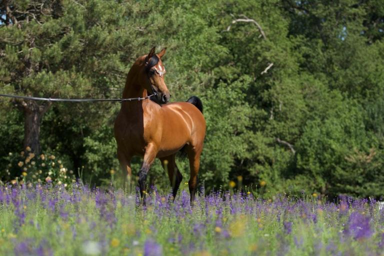 https://www.redwoodlodgearabians.com/core/image.php?src=app/media/uploads/website/30/photos/website_horses/2195/AbhaOmani.jpg&width=768&height=512