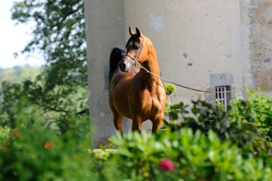https://www.redwoodlodgearabians.com/core/image.php?src=app/media/uploads/website/30/photos/website_horses/2195/Abha_Omani_EYE3764web.jpg&width=540&height=360