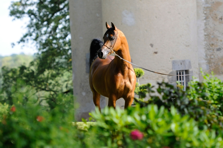 https://www.redwoodlodgearabians.com/core/image.php?src=app/media/uploads/website/30/photos/website_horses/2195/Abha_Omani_EYE3764web.jpg&width=768&height=512
