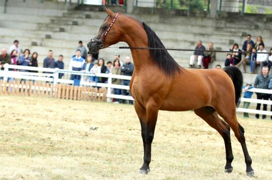 https://www.redwoodlodgearabians.com/core/image.php?src=app/media/uploads/website/30/photos/website_horses/2195/Abha_Omani_IMG_2968_copia.jpg&width=540&height=360