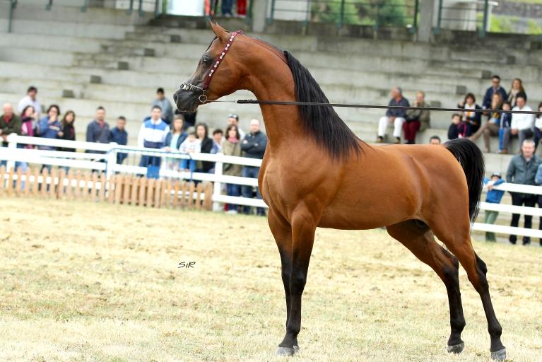 https://www.redwoodlodgearabians.com/core/image.php?src=app/media/uploads/website/30/photos/website_horses/2195/Abha_Omani_IMG_2968_copia.jpg&width=768&height=512