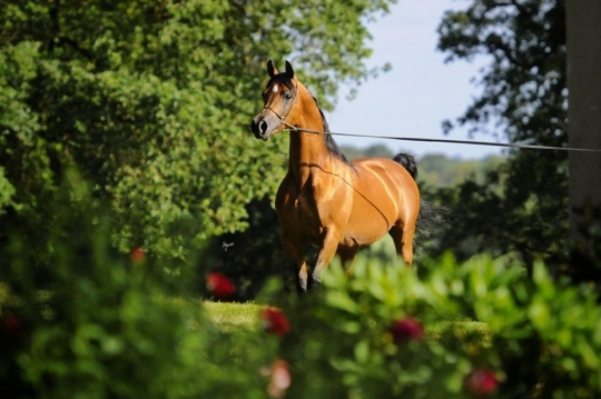 https://www.redwoodlodgearabians.com/core/image.php?src=app/media/uploads/website/30/photos/website_horses/2195/IMG_3212.JPG&width=540&height=360