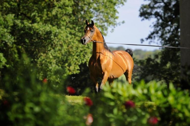 https://www.redwoodlodgearabians.com/core/image.php?src=app/media/uploads/website/30/photos/website_horses/2195/IMG_3212.JPG&width=768&height=512