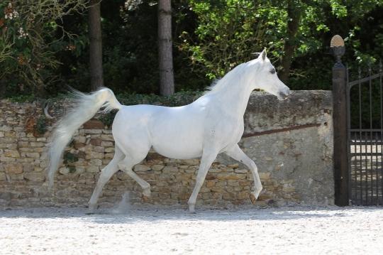 https://www.redwoodlodgearabians.com/core/image.php?src=app/media/uploads/website/30/photos/website_horses/2196/RL_Romantik_Web.jpg&width=540&height=360