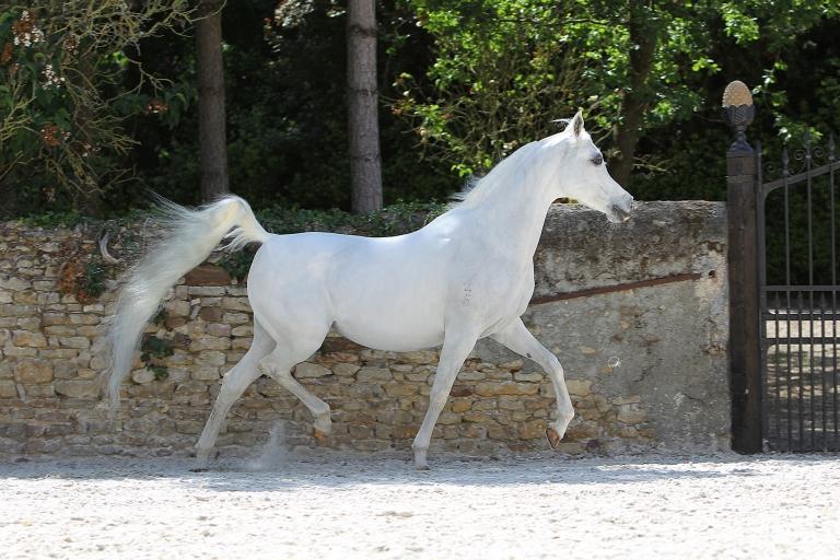 https://www.redwoodlodgearabians.com/core/image.php?src=app/media/uploads/website/30/photos/website_horses/2196/RL_Romantik_Web.jpg&width=768&height=512