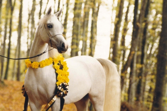 https://www.redwoodlodgearabians.com/core/image.php?src=app/media/uploads/website/30/photos/website_horses/2196/ROMANTIK300dpi.jpg&width=540&height=360