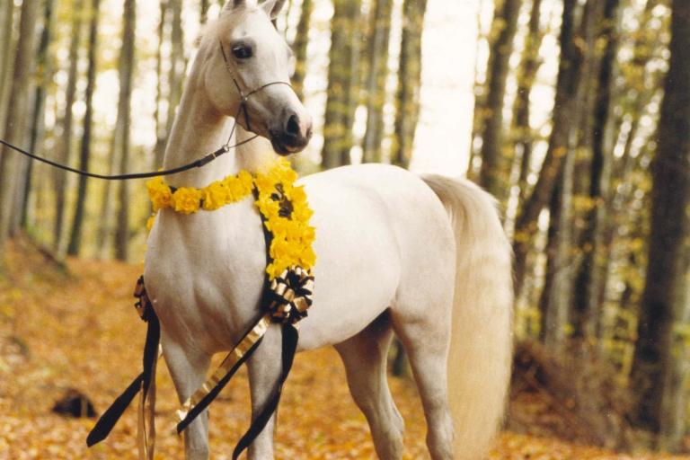 https://www.redwoodlodgearabians.com/core/image.php?src=app/media/uploads/website/30/photos/website_horses/2196/ROMANTIK300dpi.jpg&width=768&height=512
