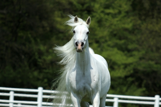 https://www.redwoodlodgearabians.com/core/image.php?src=app/media/uploads/website/30/photos/website_horses/2197/Redwood_Lodge_Samarah.jpg&width=540&height=360