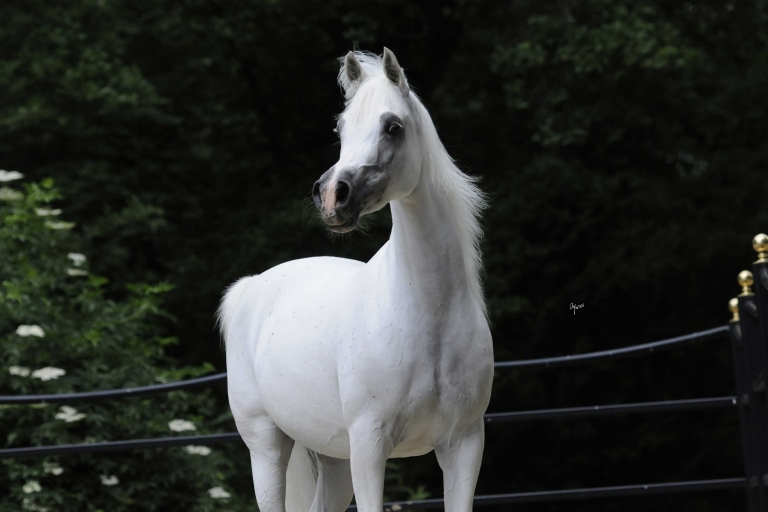 https://www.redwoodlodgearabians.com/core/image.php?src=app/media/uploads/website/30/photos/website_horses/2200/Samsara_EYE4649web.jpg&width=768&height=512