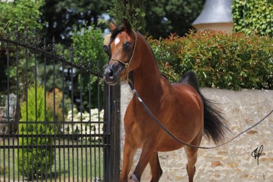 https://www.redwoodlodgearabians.com/core/image.php?src=app/media/uploads/website/30/photos/website_horses/2201/Argentinaa.jpg&width=540&height=360