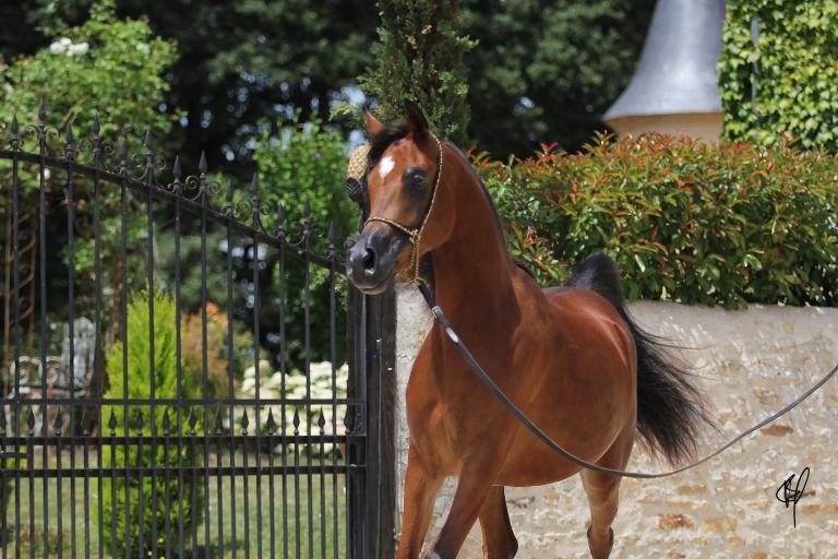 https://www.redwoodlodgearabians.com/core/image.php?src=app/media/uploads/website/30/photos/website_horses/2201/Argentinaa.jpg&width=768&height=512