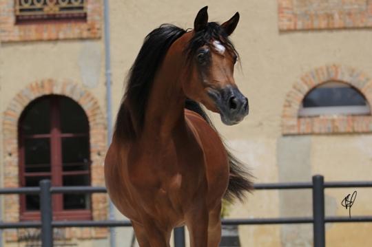 https://www.redwoodlodgearabians.com/core/image.php?src=app/media/uploads/website/30/photos/website_horses/2201/Argentinaa2.jpg&width=540&height=360