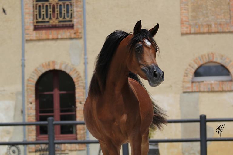 https://www.redwoodlodgearabians.com/core/image.php?src=app/media/uploads/website/30/photos/website_horses/2201/Argentinaa2.jpg&width=768&height=512