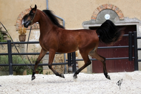 https://www.redwoodlodgearabians.com/core/image.php?src=app/media/uploads/website/30/photos/website_horses/2201/Argentinaa3.jpg&width=540&height=360