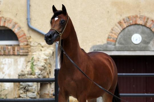 https://www.redwoodlodgearabians.com/core/image.php?src=app/media/uploads/website/30/photos/website_horses/2201/Argentinaa4.jpg&width=540&height=360