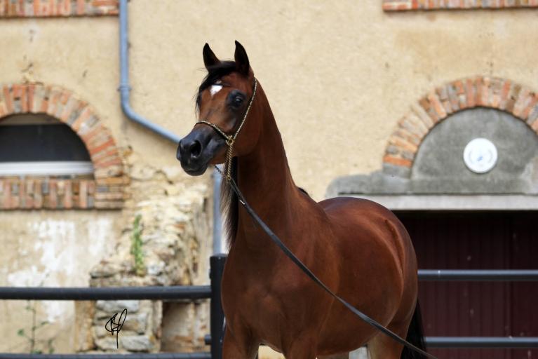 https://www.redwoodlodgearabians.com/core/image.php?src=app/media/uploads/website/30/photos/website_horses/2201/Argentinaa4.jpg&width=768&height=512