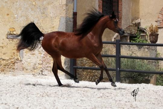 https://www.redwoodlodgearabians.com/core/image.php?src=app/media/uploads/website/30/photos/website_horses/2201/Argentinaa5.jpg&width=540&height=360