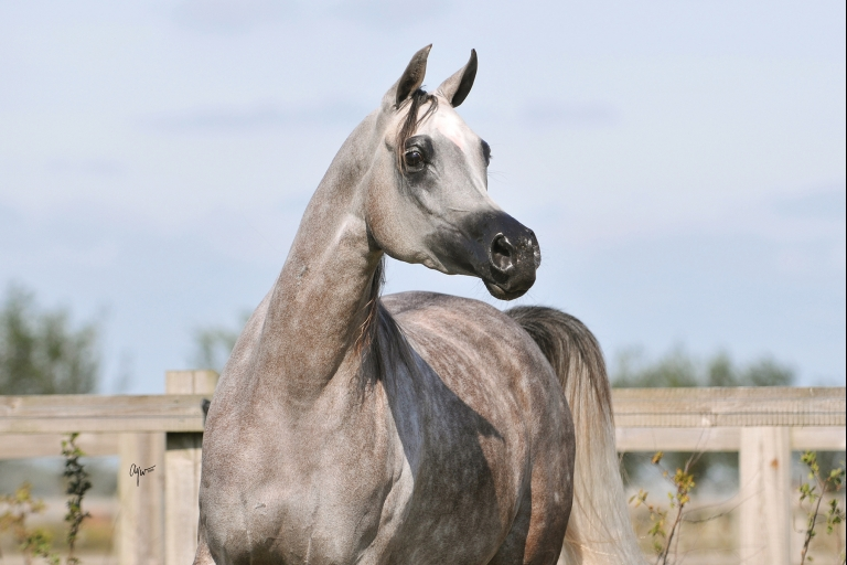https://www.redwoodlodgearabians.com/core/image.php?src=app/media/uploads/website/30/photos/website_horses/2203/Gina_web5.jpg&width=768&height=512