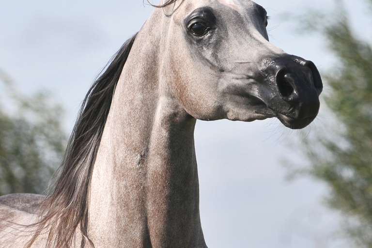 https://www.redwoodlodgearabians.com/core/image.php?src=app/media/uploads/website/30/photos/website_horses/2203/Gina_web7.jpg&width=768&height=512