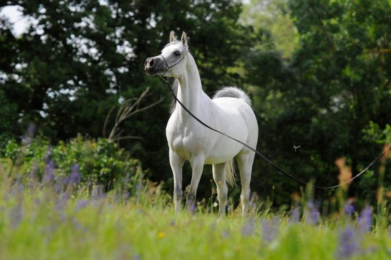 https://www.redwoodlodgearabians.com/core/image.php?src=app/media/uploads/website/30/photos/website_horses/2204/Romantikaa_EYE4941web.jpg&width=768&height=512