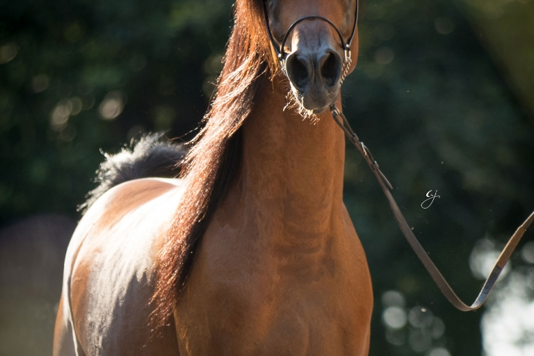 https://www.redwoodlodgearabians.com/core/image.php?src=app/media/uploads/website/30/photos/website_horses/2205/EcuadorGJ_5180web.jpg&width=768&height=512