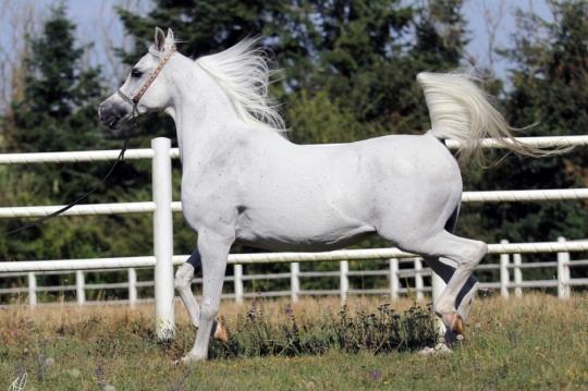 https://www.redwoodlodgearabians.com/core/image.php?src=app/media/uploads/website/30/photos/website_horses/2206/Yazmeena_Estopa2.jpg&width=540&height=360