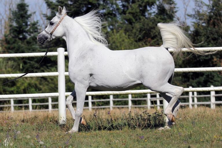 https://www.redwoodlodgearabians.com/core/image.php?src=app/media/uploads/website/30/photos/website_horses/2206/Yazmeena_Estopa2.jpg&width=768&height=512