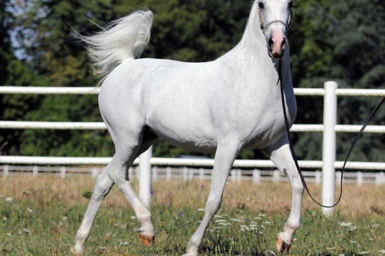 https://www.redwoodlodgearabians.com/core/image.php?src=app/media/uploads/website/30/photos/website_horses/2206/Yazmeena_Estopa3.jpg&width=768&height=512