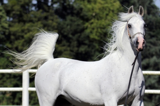 https://www.redwoodlodgearabians.com/core/image.php?src=app/media/uploads/website/30/photos/website_horses/2206/yazmeena_estopa.jpg&width=540&height=360