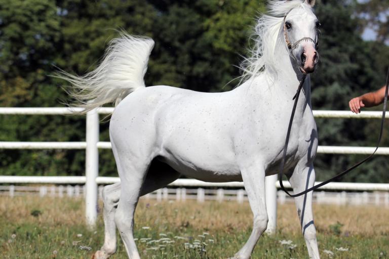 https://www.redwoodlodgearabians.com/core/image.php?src=app/media/uploads/website/30/photos/website_horses/2206/yazmeena_estopa.jpg&width=768&height=512