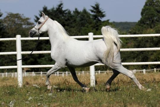 https://www.redwoodlodgearabians.com/core/image.php?src=app/media/uploads/website/30/photos/website_horses/2206/yazmeena_estopa4.jpg&width=540&height=360