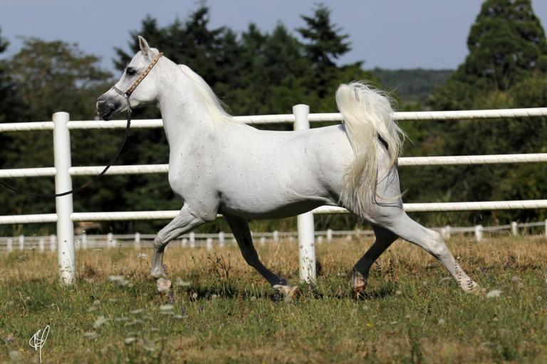 https://www.redwoodlodgearabians.com/core/image.php?src=app/media/uploads/website/30/photos/website_horses/2206/yazmeena_estopa4.jpg&width=768&height=512